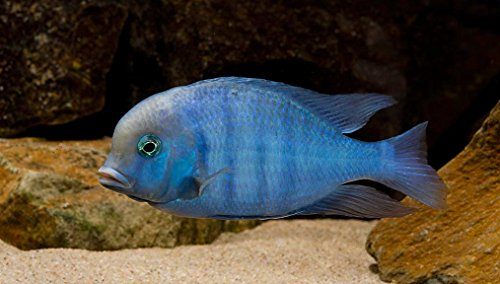 "WorldwideTropicals Live Freshwater Aquarium Fish - 3-4"" Malawi Blue Dolphin - Cyrtocara Moorii - by Live Tropical Fish - Great For Aquariums - Populate Your Fish Tank! from WorldwideTropicals"