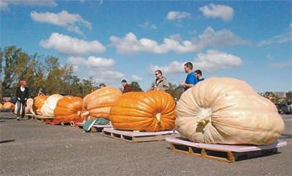 Resultado de imagem para Dill's Atlantic Giant variety of premium pumpkin seeds.