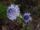 HOT - Globe Daisy Flower - 200 Seeds - Globularia Punctata