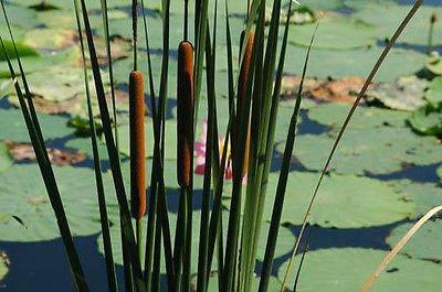 Narrow leaved Cattail Pond Plant Koi Pond Water garden Winter Hardy Bog Plant