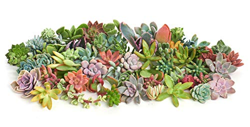 Shop Succulents | Assorted Collection of Live Succulent Cuttings, Hand Selected Variety Pack of Cut Succulents, Great for Growing New Plants - DIY Gardening | Collection of 100
