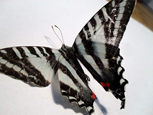 Metal Zebra Wall (Home Comforts Print on Metal Zebra Swallowtail Butterfly Butterflies Bug Cool Print 12 X 18. Worry Free Wall Installation - Shadow Mount is Included.)