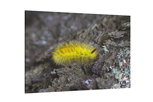(Yellow Tussock Moth Caterpillar On Black Rock Close Up Photography - Canvas Wall Art Gallery Wrapped 26