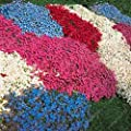 100 pcs/bag Creeping Thyme Seeds or Multi-color ROCK CRESS Seeds - Perennial flower seeds Ground cover flower garden decoration