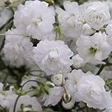 GlobalRose 12 Bunches of Fresh Cut Million Star Gypsophila - Fresh Flowers For Birthdays, Weddings or Anniversary.