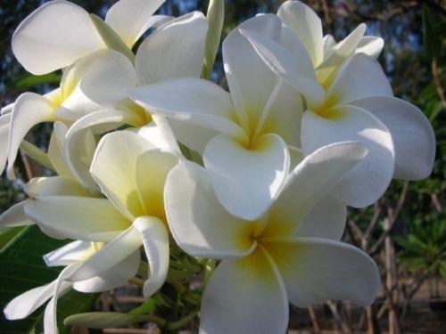 3 ROOTED CUTTING WHITE HAWAII PLUMERIA FRANGIPANI + FREE PHYTO Flower Fresh & Viable From Garden (Hawaii Fresh Flowers)