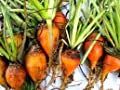 Hinterland Trading Giant Yellow Mangel Beet - 50+ Seeds Chickens Love Them!