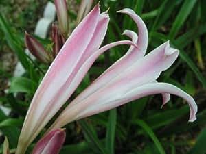 Crinum Lily, goweni, Roger Croker Memorial, grande, blooming-size bombilla