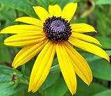 Black Eyed Susan Nice Garden Flower By Seed Kingdom BULK 5 Lb Seeds