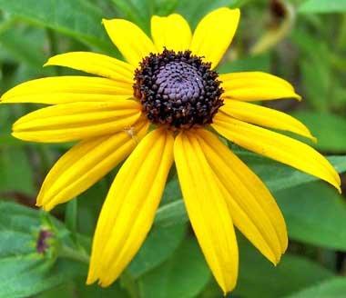 (Black Eyed Susan Nice Garden Flower By Seed Kingdom BULK 1 Lb Seeds)