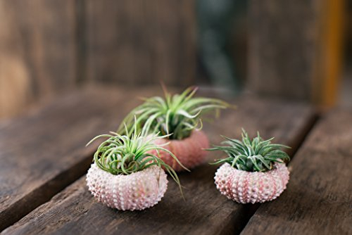 Triplets Urchin Houseplants Hinterland Trading