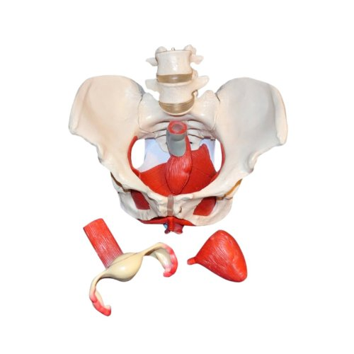 Wellden Product Medical Anatomical Female Pelvis Model with Removable Organs, 6-part, Life Size by Wellden (Image #4)