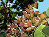 9 seeds Pistachio Nut Tree Seeds For Planting
