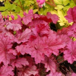 Berry Smoothie Coral Bells> Heuchera 'Berry Smoothie'> Landscape Ready 1 gallon Container