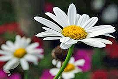 Shasta Daisy 100+ Seeds Organic, Beautiful Bright White/yellow Flower
