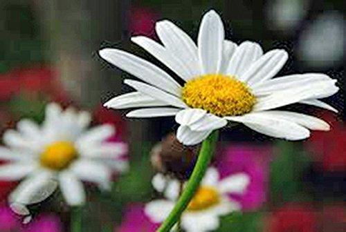 (Shasta Daisy 500+ Seeds Organic, Beautiful Bright White/yellow)
