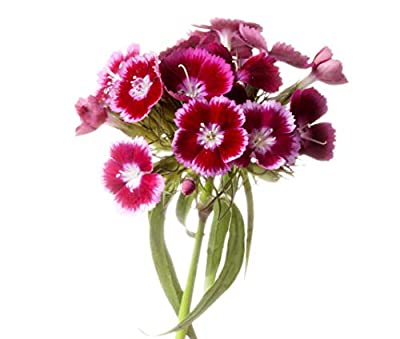 Sweet William Mixed Flower Seeds - 2500 Seeds - Long Blooming Period 8 Weeks - All Zones