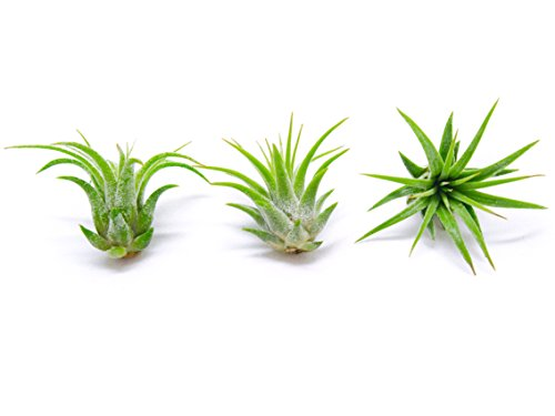 Miniature Fairy Garden Plants - Live Tillandsia Air Plants for Enchanted Gardens - Terrarium House Plant Accessories and Gardening Starter Kit Supplies