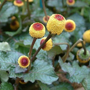 20 Toothache Plant Seeds