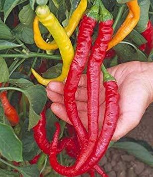 GEOPONICS 30 semillas de weet Cayena - Pimienta weet: Amazon ...