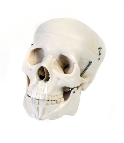 American Educational 7-1391 Human Skull Model, Life-Size, Plastic by American Educational Products
