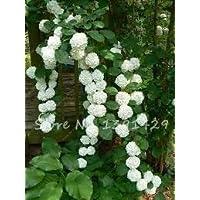 20 semillas de hortensias trepadoras Semillas de flores de bonsai, flores de árboles raros Decoración de jardín para el…