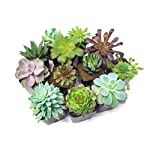 Succulent Plants (20 Pack) Fully Rooted in Planter Pots with Soil | Real Live Potted Succulents / Unique Indoor Cactus Decor by Plants for Pets 20 HAND SELECTED: Every pack of succulents we send is hand-picked. You will receive a unique collection of species that are fully rooted and similar to the product photos. Note that we rotate our nursery stock often, so the exact species we send changes every week. THE EASIEST HOUSE PLANTS: More appealing than artificial plastic or fake faux plants, and care is a cinch. If you think you can't keep houseplants alive, you're wrong; our succulents don't require fertilizer and can be planted in a decorative pot of your choice within seconds. DIY HOME DECOR: The possibilities are only limited by your imagination; display them in a plant holder, a wall mount, a geometric glass vase, or even in a live wreath. Because of their amazingly low care requirements, they can even make the perfect desk centerpiece for your office.