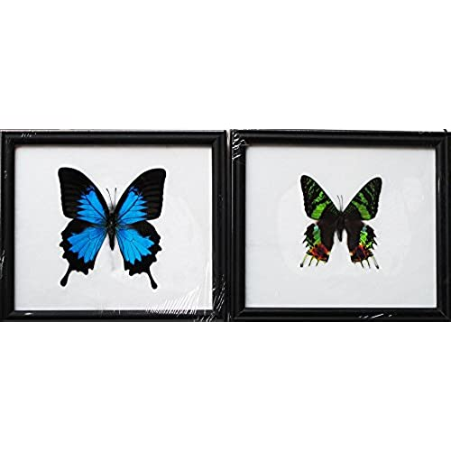 Discount BIG SIZE BEAUTIFUL MADAGASCAR AND ULYSSES BUTTERFLY DISPLAY TAXIDERMY for sale