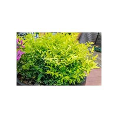 Lemon Lime Heavenly Bamboo : Garden & Outdoor