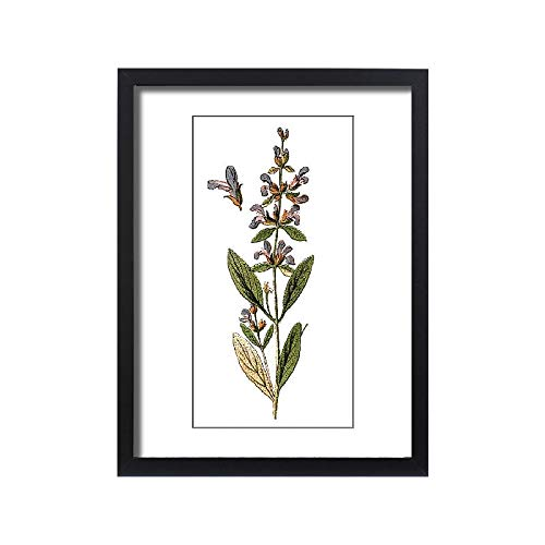 - Media Storehouse Framed 24x18 Print of Salvia officinalis (sage, Also Called Garden sage, Common sage (18294307)