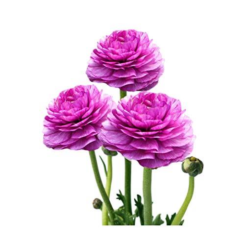 Tecolote Ranunculus Purple - Persian Buttercup Bulbs - 10 XL Bulbs - 8+ cm | Ships from Easy to Grow TM