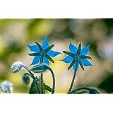 100 Borage Flowering Herb Seeds Starflower Borago Officinalis by RDR Seeds