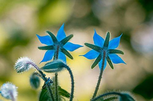 RDR Seeds 100 Borage Flowering Herb Seeds Starflower Borago Officinalis (Flowering Herb)