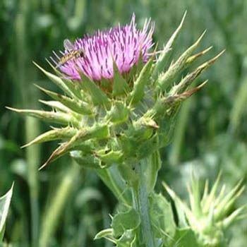 Outsidepride Milk Thistle Herb Plant Seed - 200 Seeds (Thistle Milk Seeds)