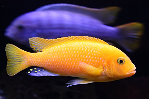 Cichlids African Aquarium (Pair of Red Zebra African Cichlid - Live Tropical Aquarium Fish)