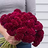 David's Garden Seeds Flower Celosia Cramers Burgundy SL1705 (Red) 100 Open Pollinated Seeds