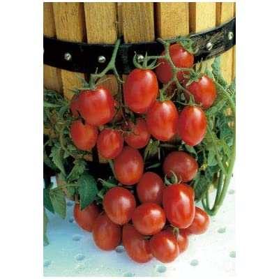 Salerno Seeds Grape Tomato Crovarese Pomodoro Heirloom Tomato 3 Grams Made in Italy Italian Non-GMO : Garden & Outdoor