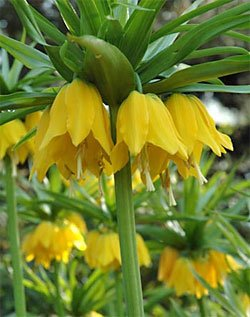 Lutea Fritillaria Crown Imperial imperialis - 1 (Crown Imperial Bulbs)