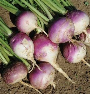 SeedRanch Turnip Seed Purple Top White Globe - 50 Lb. by SeedRanch