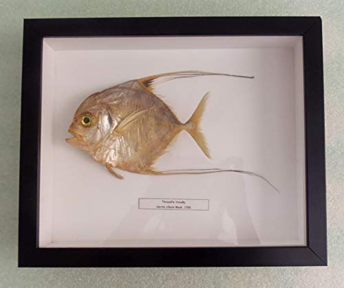 (Gems Under the Sea - Frame Shadow Box Freeze Dried Fish Taxidermy (Alectis ciliaris))