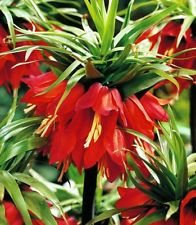 Fritillaria -Crown Imperial (Bulbs)- Deer,Rodents Won't Eat-Height 32-36 (Crown Imperial Bulbs)