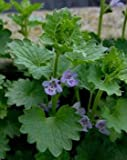 Ground Ivy Herb, Cut&Sifted - Wildcrafted - Glechoma hederacea (454g = One Pound) Brand: Herbies Herbs