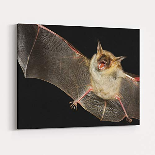 Rosenberry Rooms Canvas Wall Art Prints - Greater Mouseeared Bat, Myotis Myoti, Flight in The Night (30 x 24 inches)