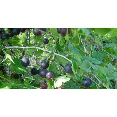 """AchmadAnam - Live Plant Black Velvet Gooseberry Bush Fruit Eat Fresh or Baked 2.5"""" Pot : Garden & Outdoor"""
