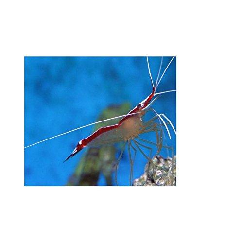 lysmata amboinensis, 3 pieza 2 - Enceradora Gamba 4 cm para Agua de mar acuario: Amazon.es: Productos para mascotas