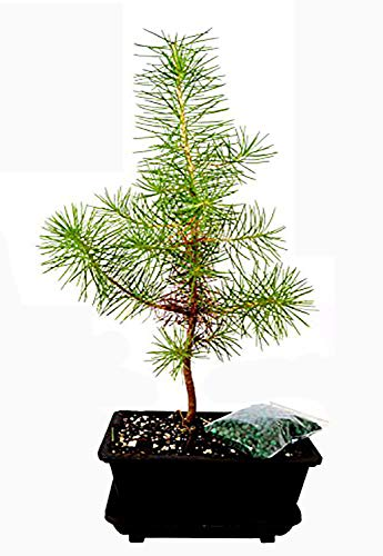 9GreenBox - Japanese Black Pine Bonsai with Water Tray and Fertilizer