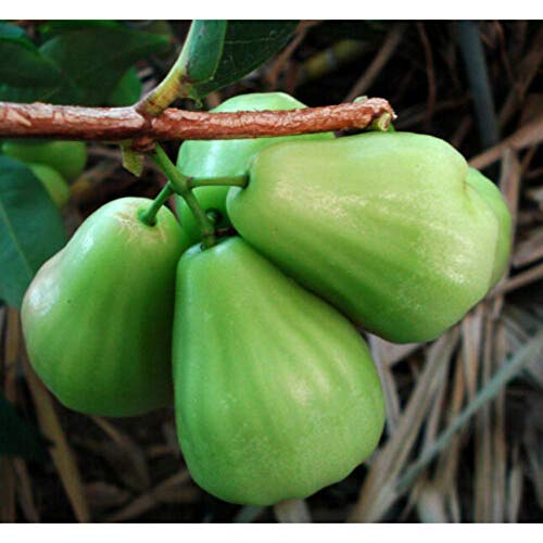 Wax Jambu Tropical Fruit Trees 3-4 Feet Height in 3 Gallon Pot #BS1 by iniloplant (Image #3)