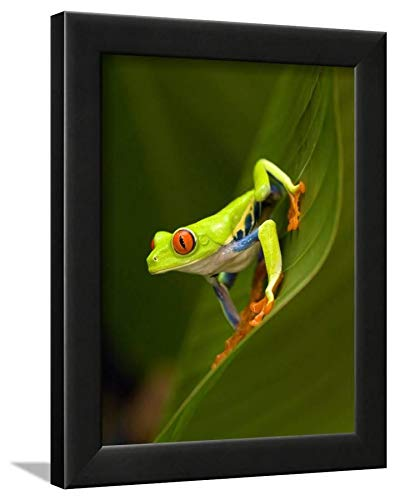 (ArtEdge Close-Up of a Red-Eyed Tree Frog Sitting on a Leaf, Costa Rica Black Wall Art Framed Print, 12 x 9, Unmatted)