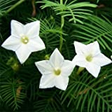 Outsidepride Cypress Vine White - 100 Seeds