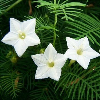 Outsidepride Cypress Vine White - 100 Seeds